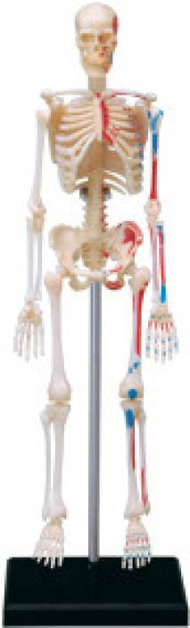 4d master human skeleton model price in india - buy 4d master, Skeleton
