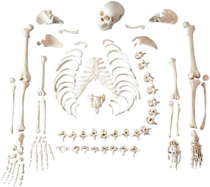 mlabs dis-articulated human skeleton fiber model price in india, Skeleton