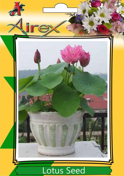Airex Lotus Seed Price In India Buy Airex Lotus Seed Online At