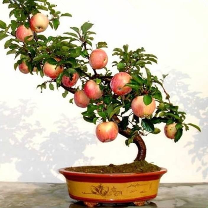 Priyathams Bonsai Organic Fuji Apple Tree Seed Price In