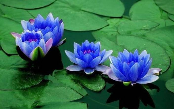 Saaheli Lotus Flower Seed Blue Seed Price In India Buy Saaheli