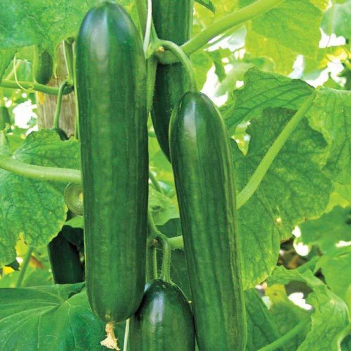 Image result for Cucumber Seeds Online