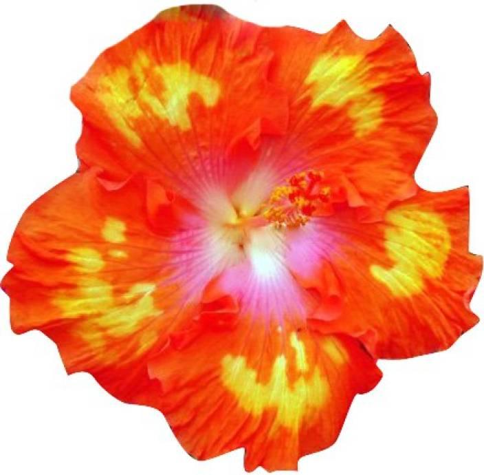 Futaba Hibiscus Rosa Sinensis Flower Seed Price In India Buy
