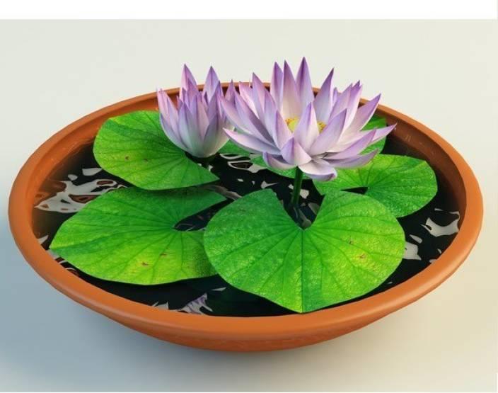 National Gardens Lotus Flower Nelumbo Nucifera Seed Price In India