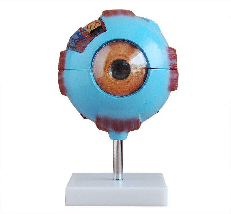 mLabs xc-316 Anatomical Body Model(Giant Eye Model PVC by mLabs)