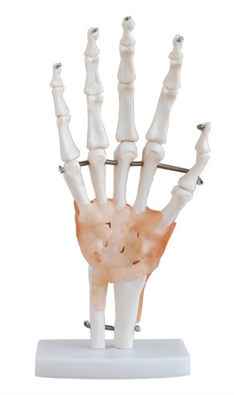 mLabs xc-114A Anatomical Body Model(Life-Size Hand Joint with Ligaments Model PVC)