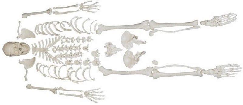 mLabs xc-130 Anatomical Body Model(Disarticulated Skeleton PVC Model)