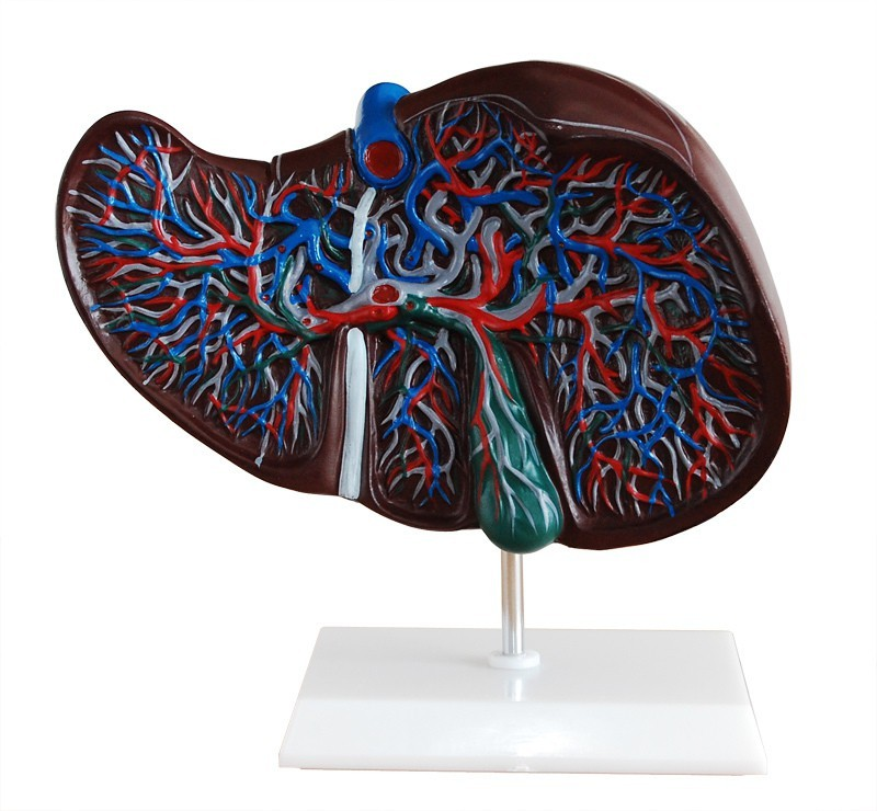 mLabs xc-312 Anatomical Body Model(Liver Model PVC)