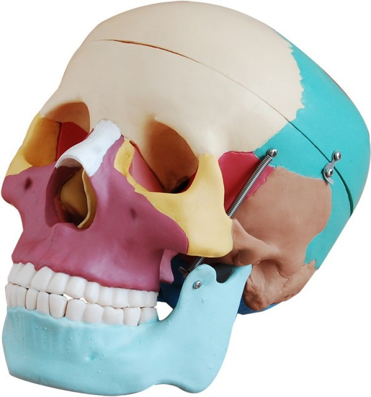 mLabs sk454 Anatomical Body Model(Colored Skull Model)