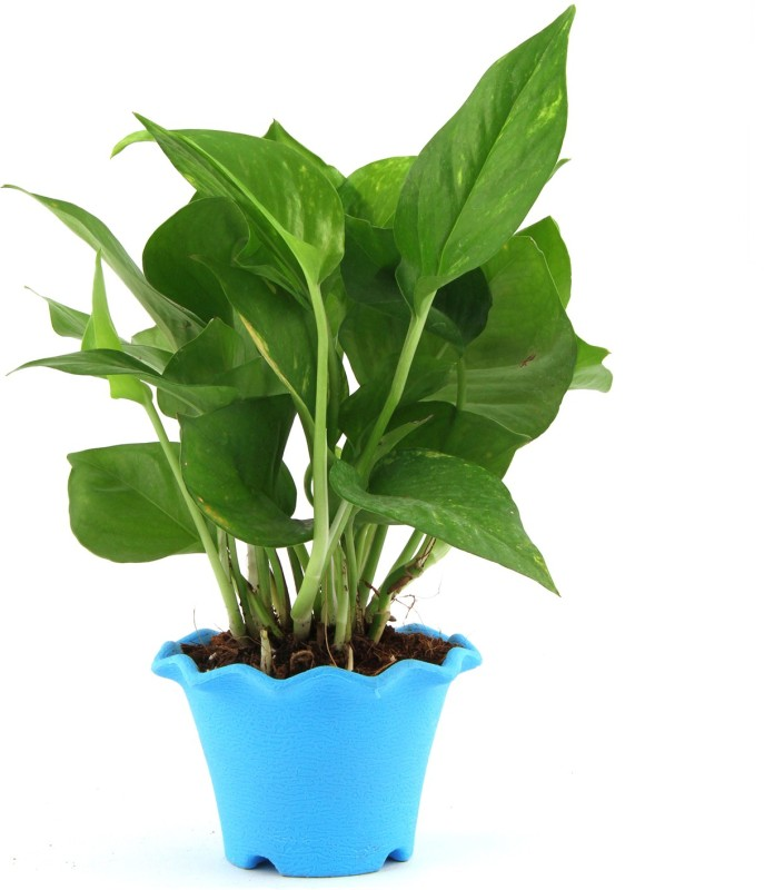 Nurturing Green Money Plant Plant(Yes Pack of 1 Bamboo)