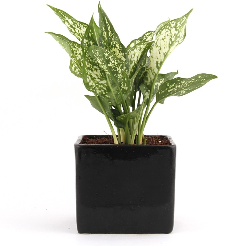 Nurturing Green Aglaonema Plant(Yes Pack of 1 Foliage)