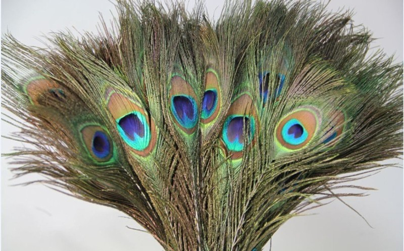 AB WORLD CLASS Pack of 15 Decorative Feathers(STANDARD Peacock Feather)