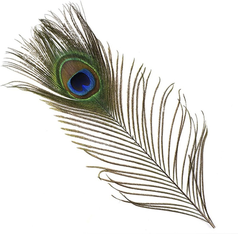 INTUF Pack of 10 Decorative Feathers(stenderd Peacock Feather)