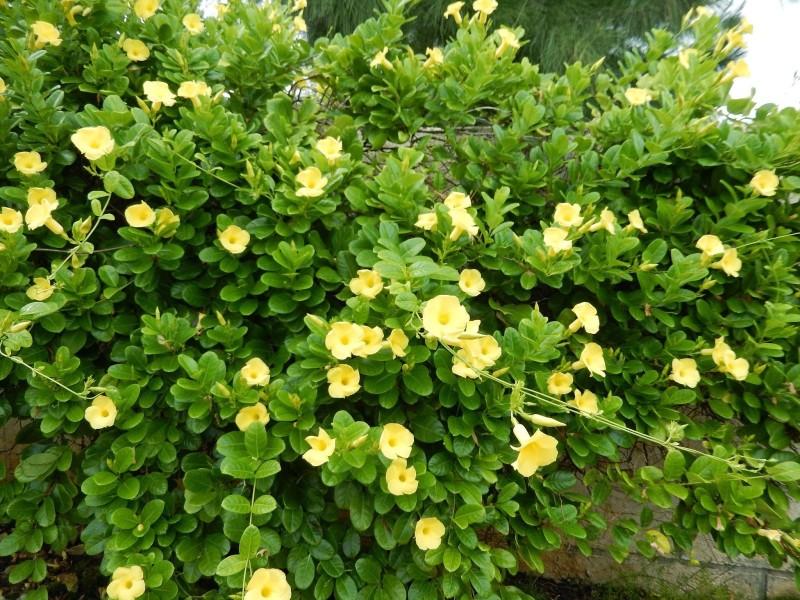 Siam Garden Yellow Mandevilla Vine