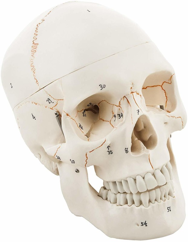 ScienceFox Life Size Premium Human Skull Model, with Removable Calvarium Anatomical Body Model(Premium Quality)