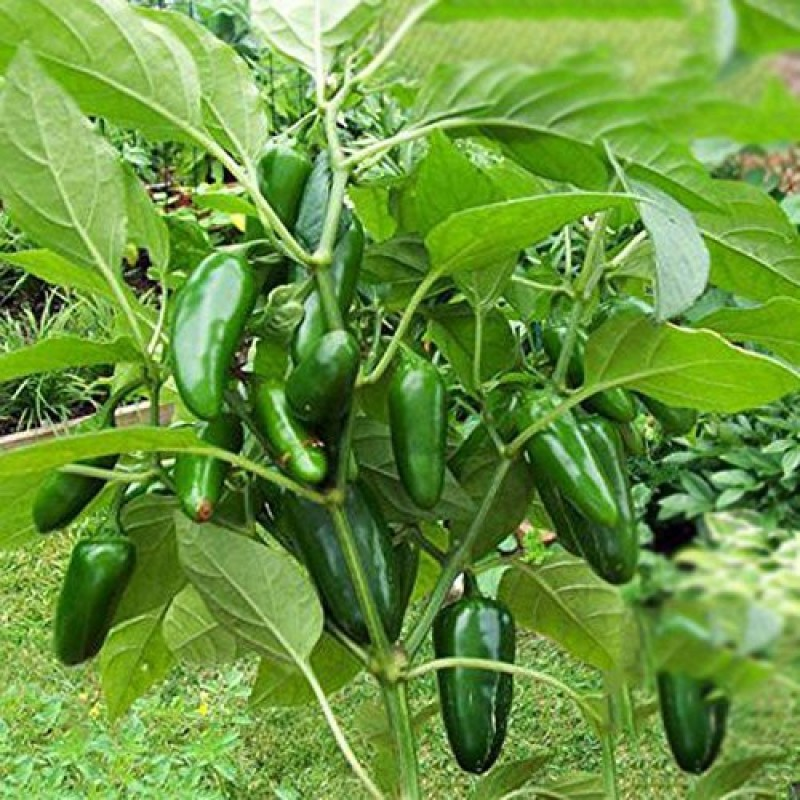 Trothic Gardens Jalapeno Chile Pepper Seeds Super Non Gmo Heirloom Vegetable Seed(20 per packet)