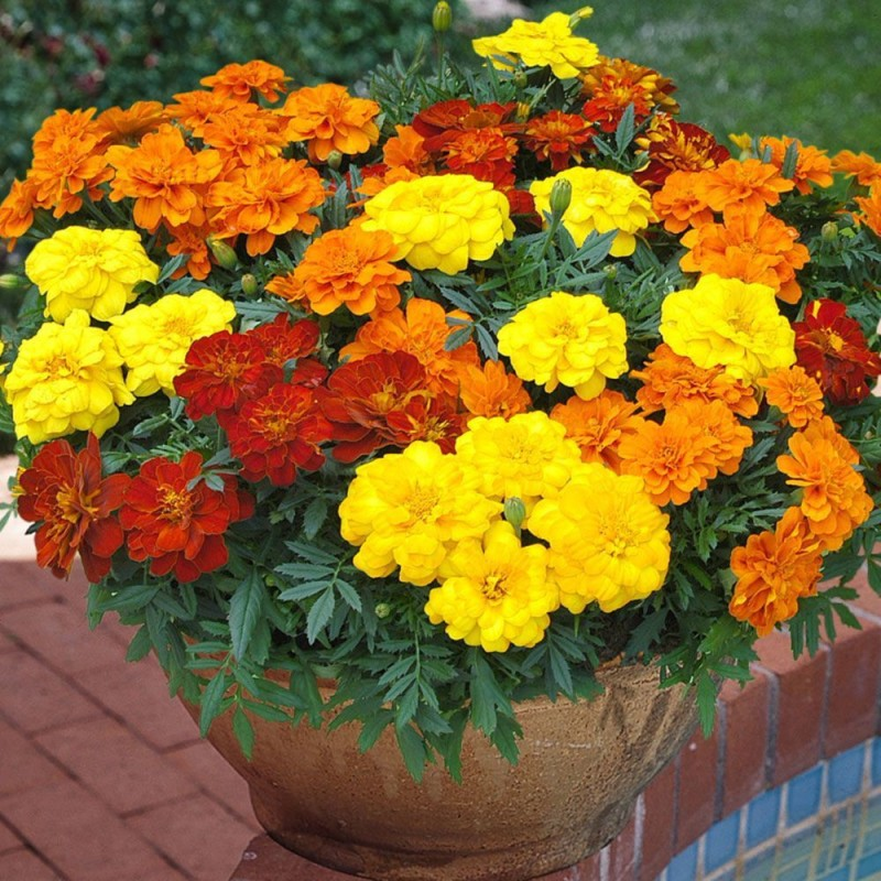 Vidishas Horticulture 250pcs Hybrid MariGold Flower (Imported From AMERICAN SAMOA) Seed(250 per packet)