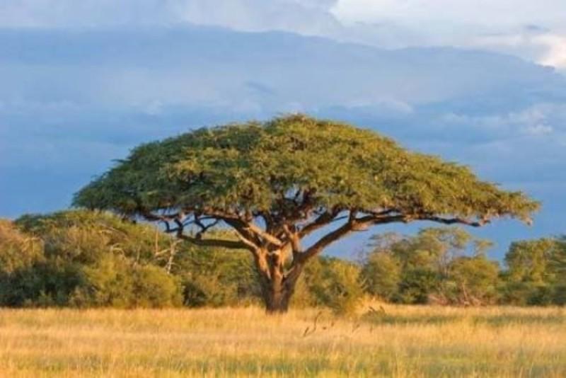 SHOP 360 GARDEN Acacia senegal ( Senegalia senegal ), Gum arabic tree, Sudan gum, Sudan gum arabic, Hashab gum Tree Seeds For Growing - Pack of 30 Seeds Seed(30 per packet)