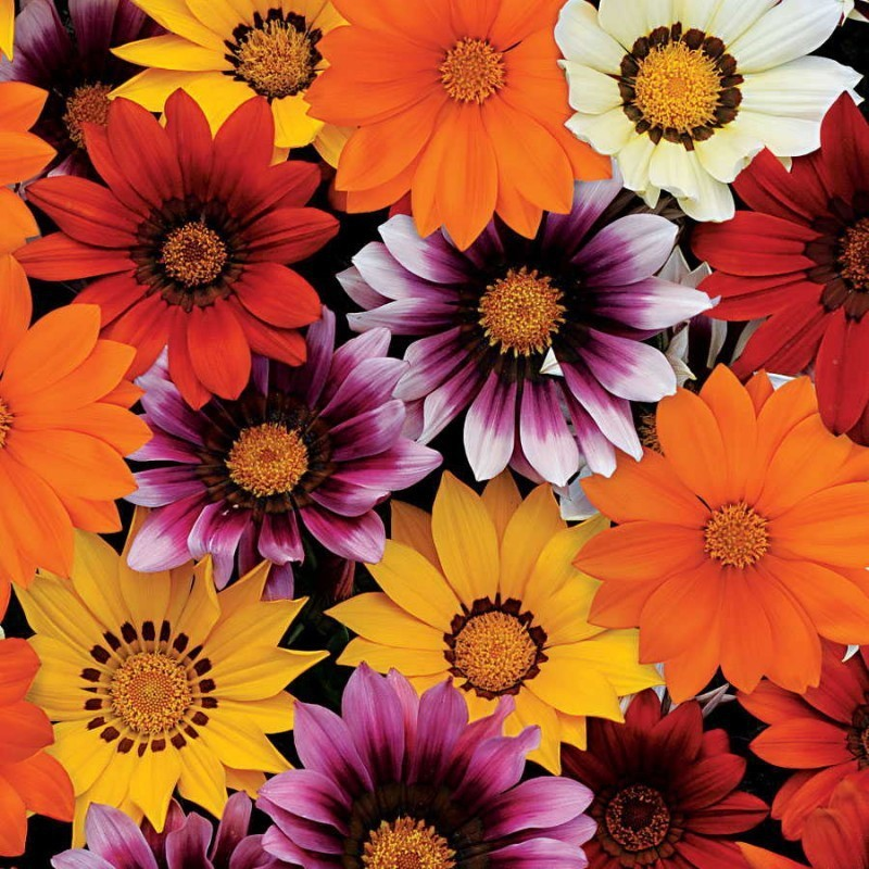 Agricart Gazania New Day F1 Mix Seed(10 per packet)