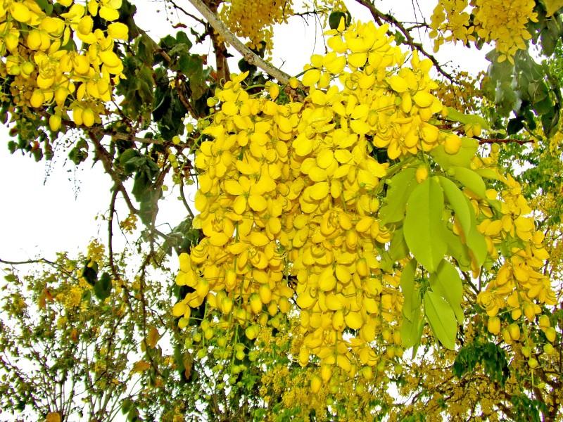 Saaheli Fistula golden shower Amaltas Seed(10 per packet)