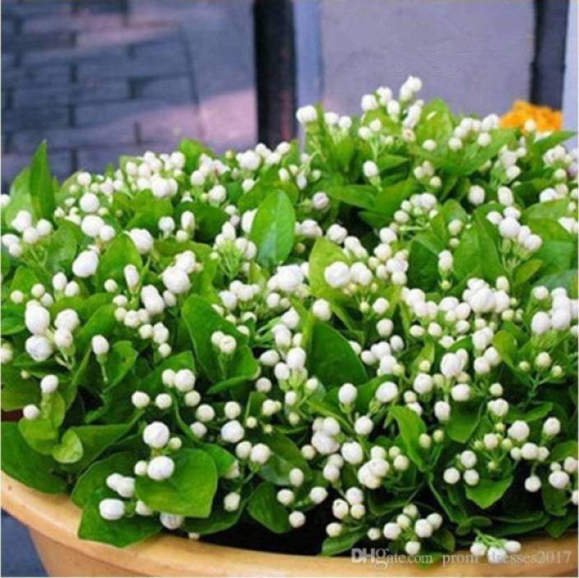 Priyathams Imported Bonsai Worlds Rare ITALIAN Jasmine Flower Plant ( potted/Balcony plant) Seed (100 per packet)