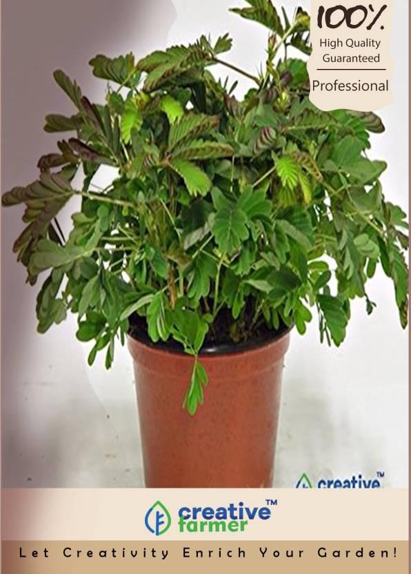 Creative Farmer Creeper Plant Mimosa Pudica Perennial Herb