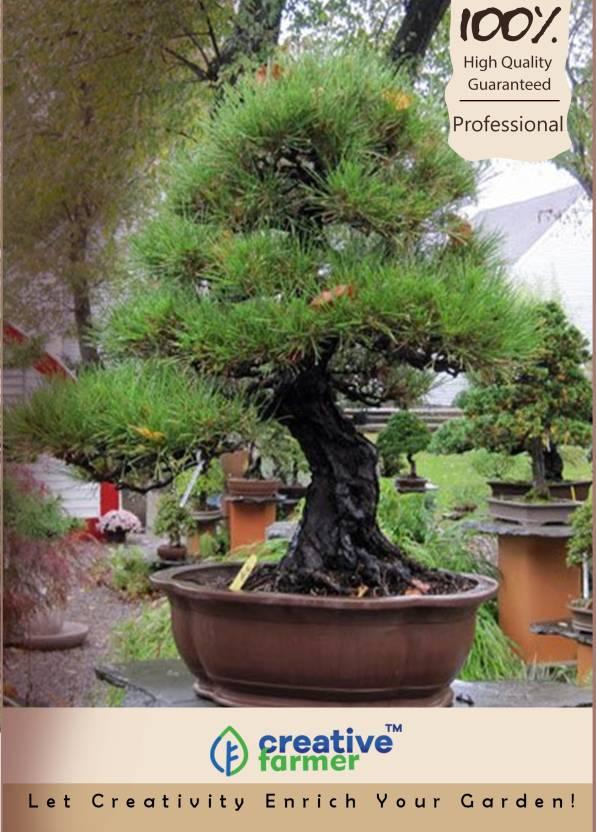 Creative Farmer Agoho Outdoor Bonsai Tree Seeds Seed