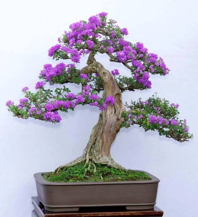 Relatively ROSEMERC Jacaranda mimosifolia Seed Price in India - Buy ROSEMERC  DK99
