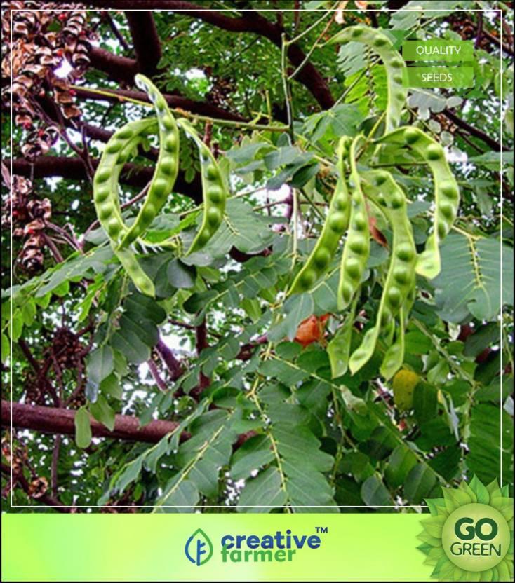 Creative Farmer Tree Seeds Red Sandalwood - Ane Golaganji Seeds For