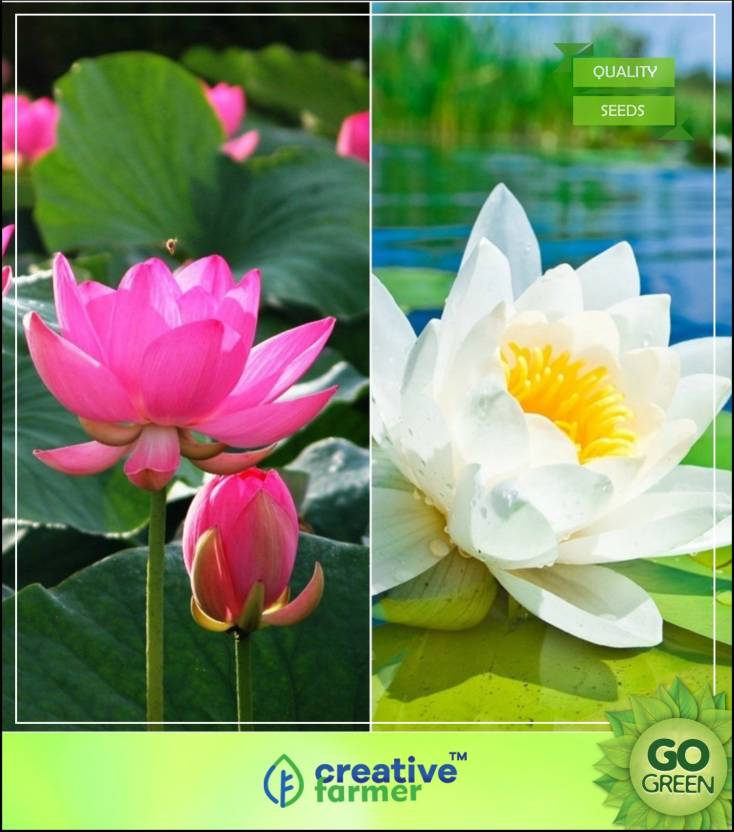 Creative Farmer Lotus Flower Seeds Pink White Colors Seeds For