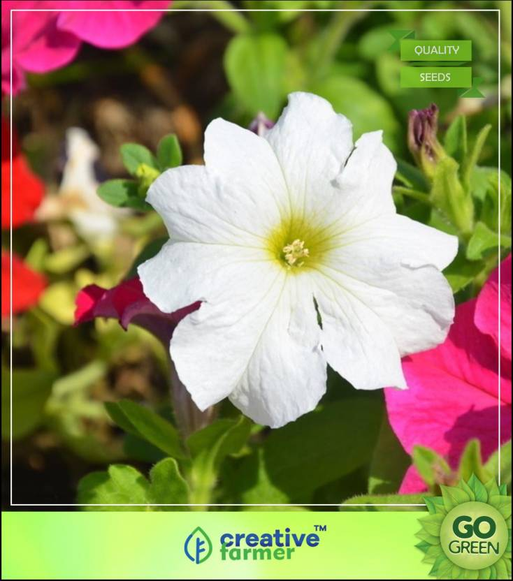 Creative Farmer White Petunia Elite Flower Seeds Pot Seed Price In