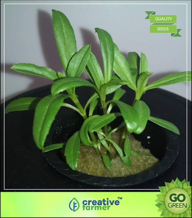 Creative Farmer Herb Seeds For Kitchen Garden Herb Seeds For