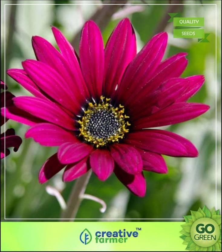 Creative Farmer Arctotis Grandis Flower Seeds For All Season