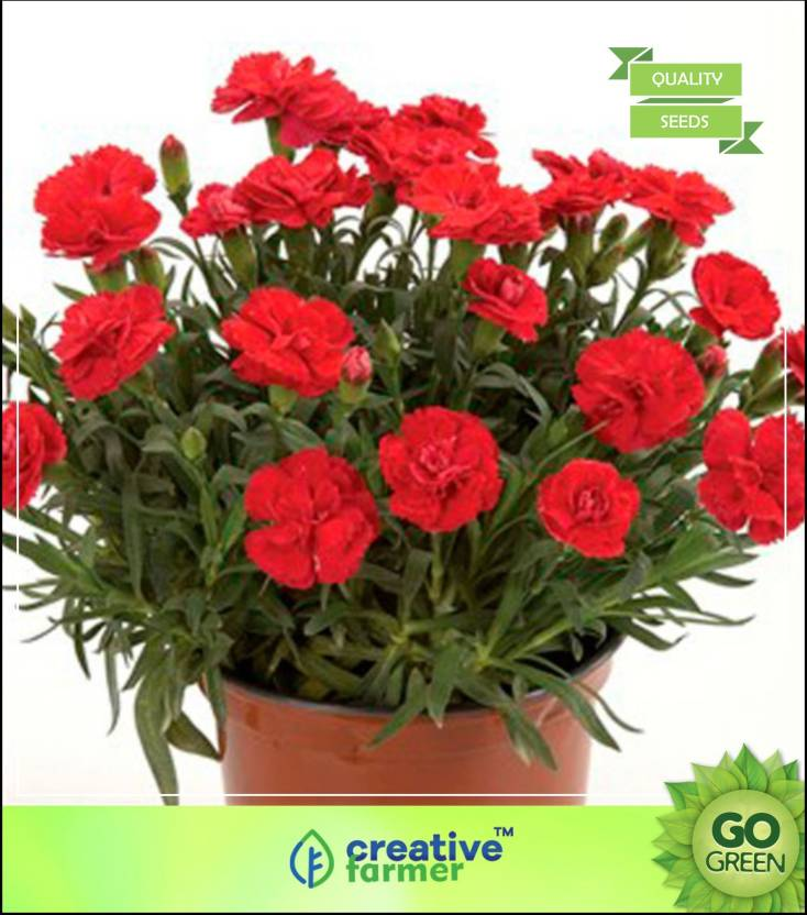 Creative Farmer Dianthus Chabaud Giant Benigna Flower Seeds