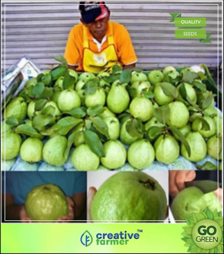 Creative Farmer Kilogram Pera (Kilogram Guava) Fruit Plant Seeds For Garden  Fruit Seeds Seed