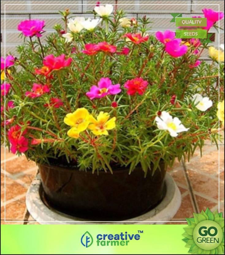 Creative Farmer Rose Moss Flower Seeds For All Season India Seed