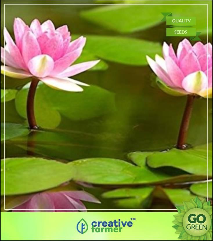 Creative Farmer Lotus Flower Seeds Nelumbo Nucifera For Pots Seeds