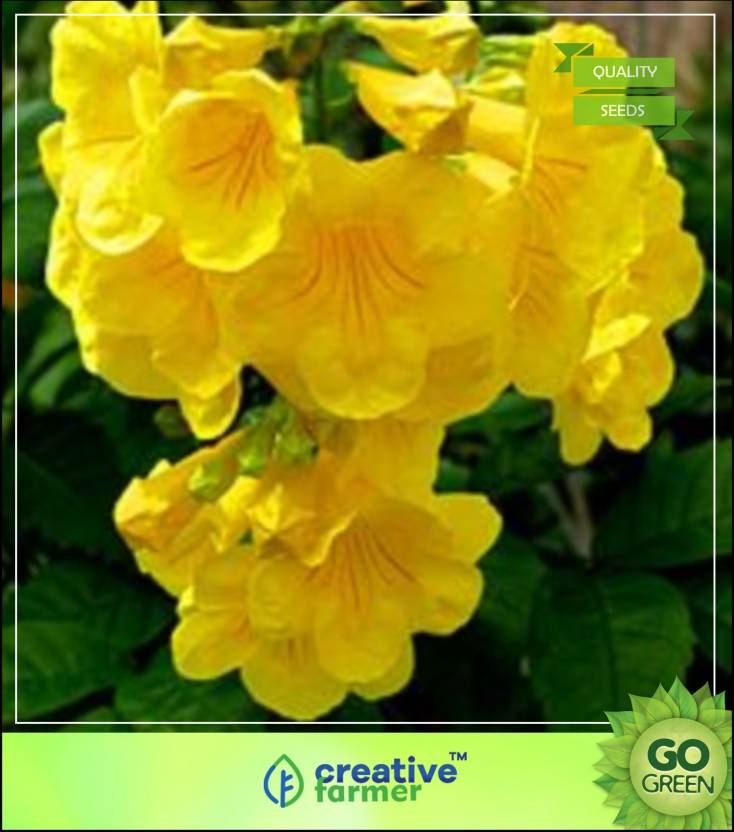 Creative Farmer Flowering Plant Bright Golden Yellow Trumpet Shaped