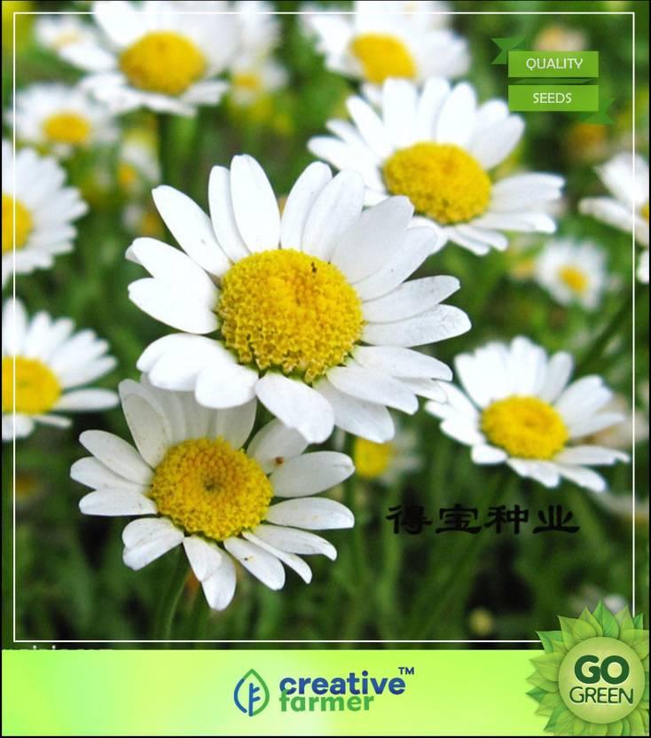 Creative Farmer Chandramallika White Flower Seeds For Planting In