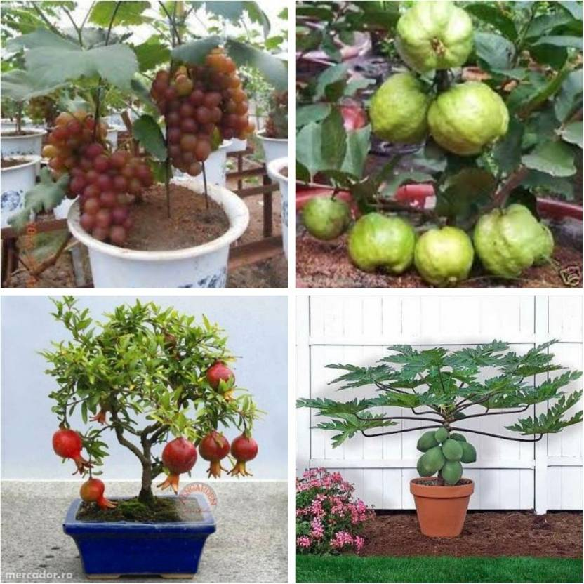 M-Tech Gardens Grape Guava Pomegranate Papaya Seed