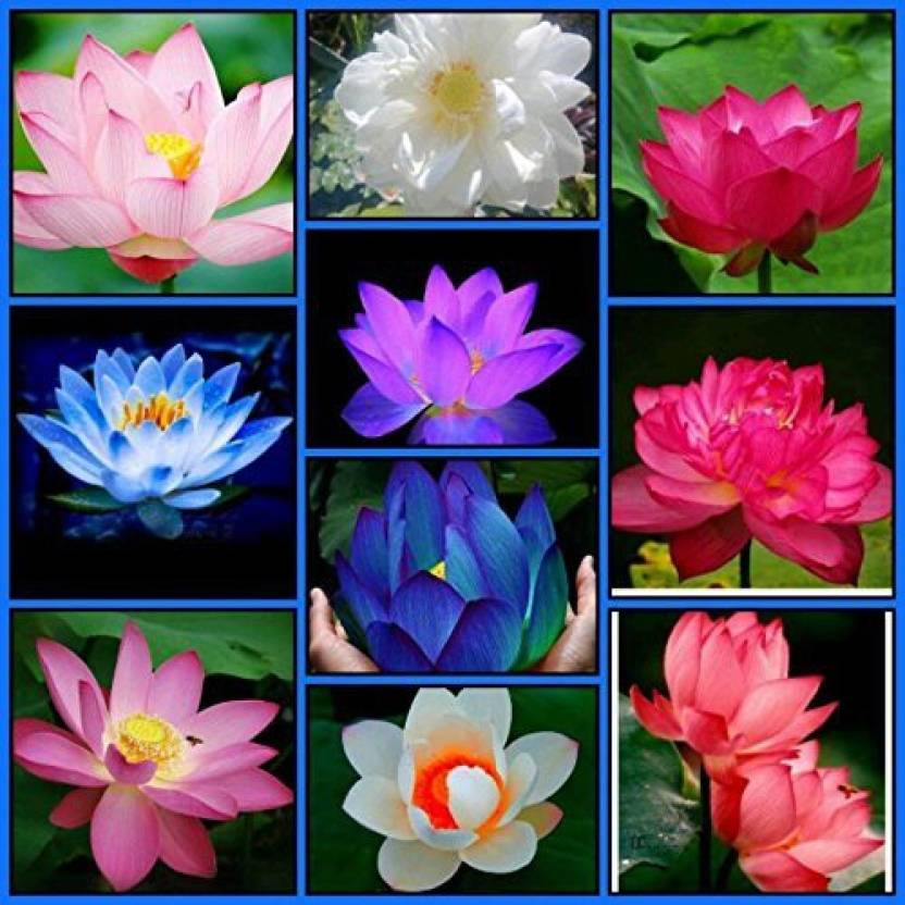 M tech gardens lotus seed price in india buy m tech gardens lotus m tech gardens lotus seed mightylinksfo