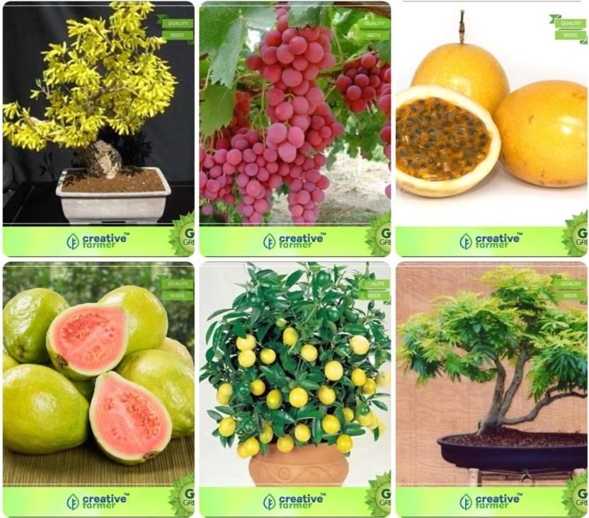 Creative Farmer Bonsai Seeds : Best Combo Seeds Combo Golden