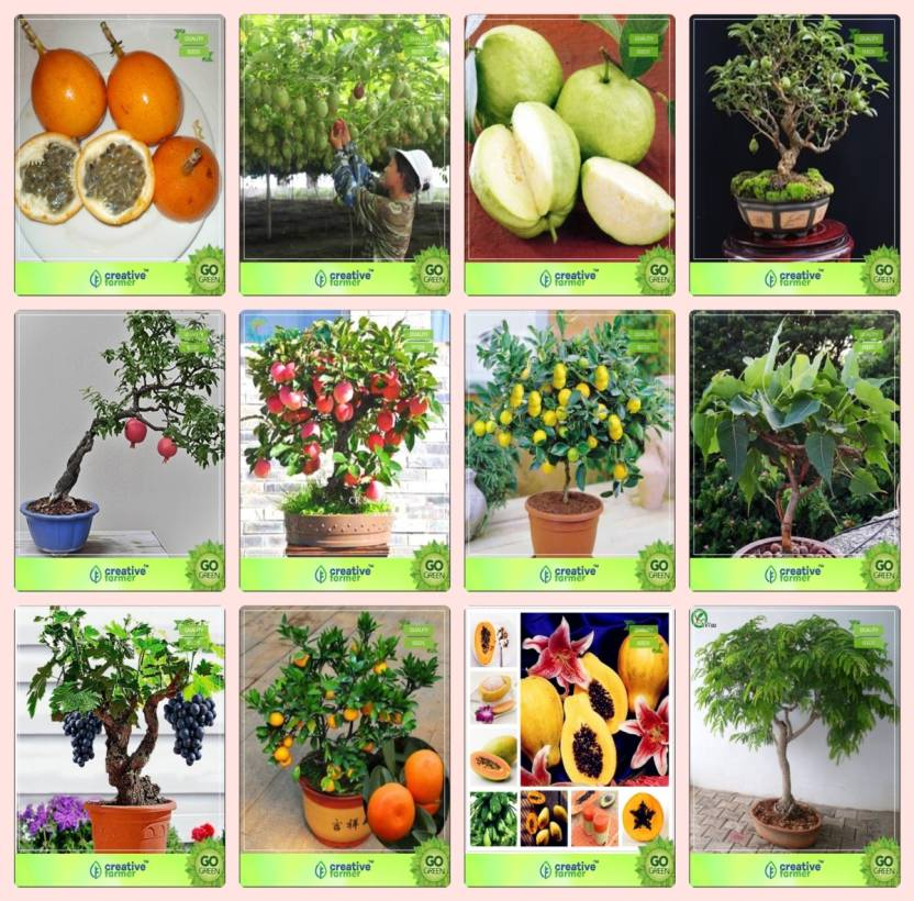 Creative Farmer Bonsai Seeds : Planting Seeds Combo Passion