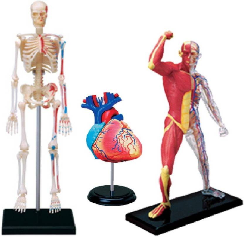 4d Master Human Anatomy Muscle Skeleton Heart Skeleton Price In