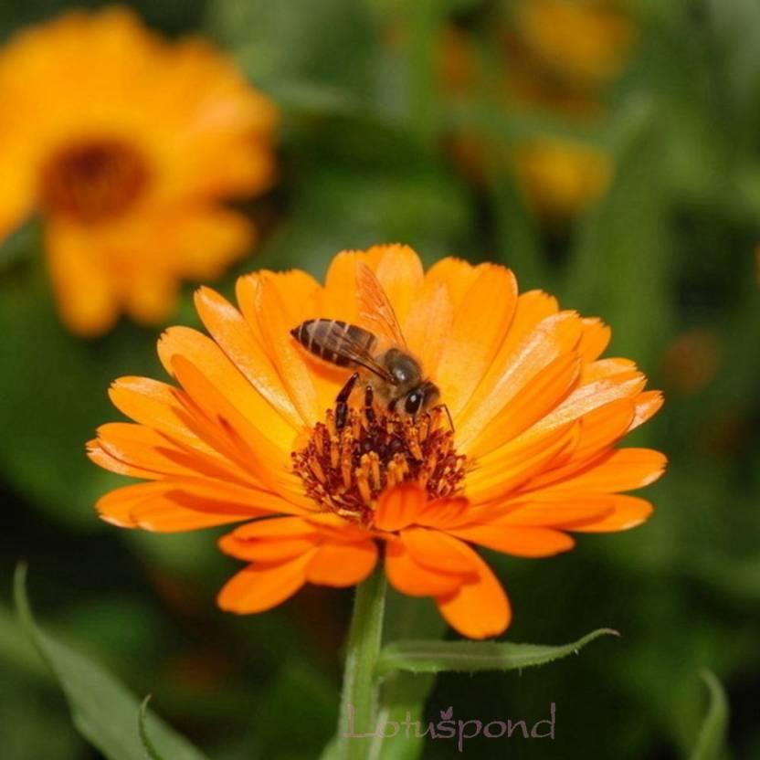 Creative Farmer Flower Seeds Gul E Ashrafi Hybrid Seeds For