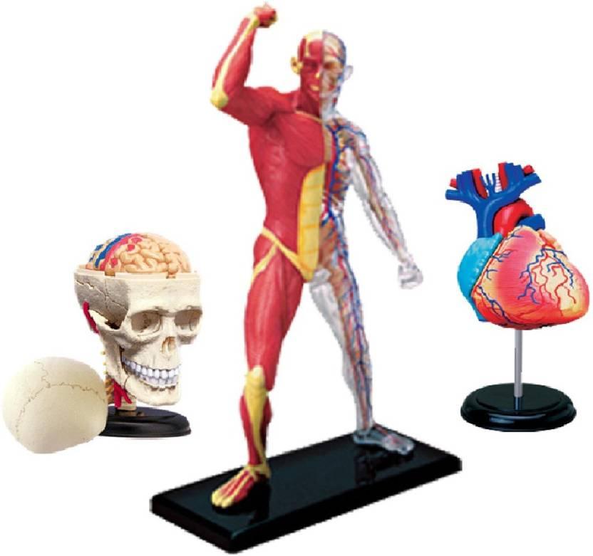 4D Master Human Skull, Skeleton & Muscle & Heart Model Price in ...