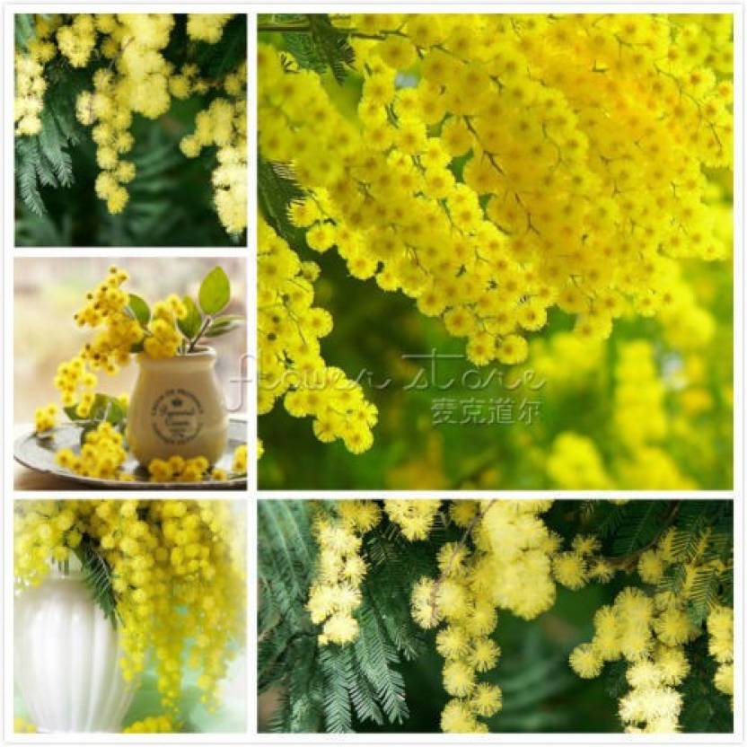 Variety House Indian Golden Mimosa Acacia Baileyana Yellow Flower