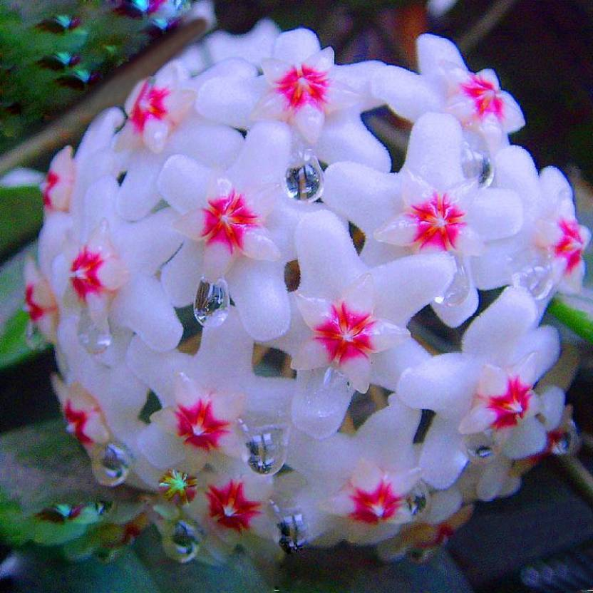 Futaba Hoya Carnosa Flower Seed Seed Price In India Buy Futaba
