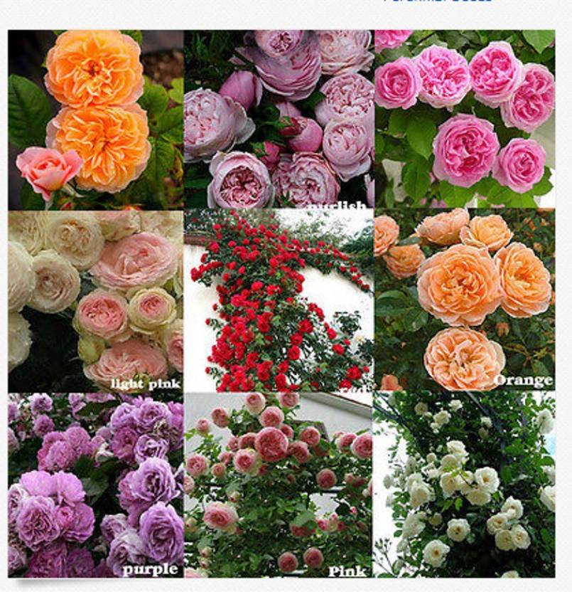 178f66e15ef66 priyathams 100PCS Climbing Rose seed Multiflora Perennial Fragrant Rose  Flower Seeds Home Decor Seed