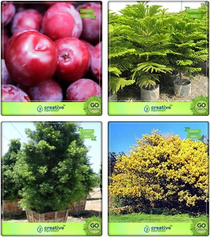 Creative Farmer Gardening Seeds Plum Hoop Pine Podocarpus